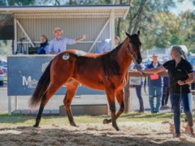 Inglis Concludes Season With Successful Scone Sale Image 1